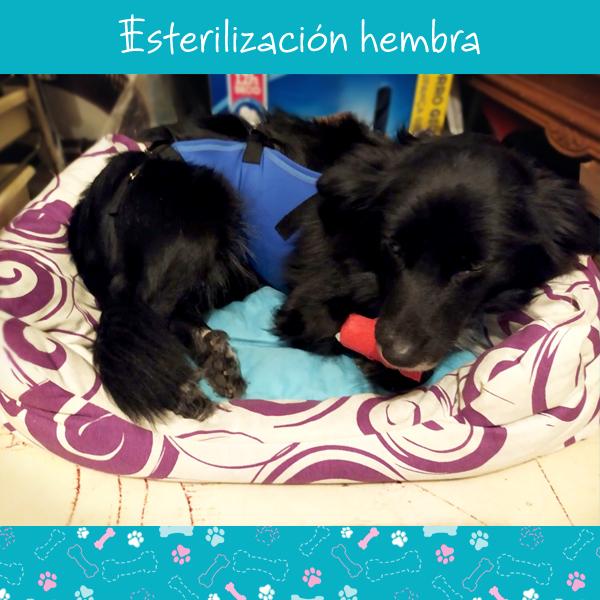 esterilizacion-hembra-1